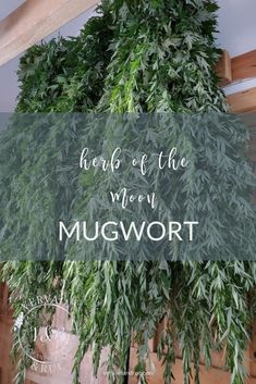 Considered an herb of the moon, mugwort is an ally to dreamwork, divination, and the female reproductive system Natural Health Remedies, Natural Cures, Herbal Remedies, Natural Medicine, Herbal Medicine, Okra Water, Witch Herbs, Healing Herbs, Medicinal Plants