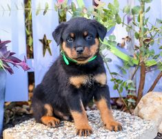 💗🤩Meet Gunner! He is a #Rottweiler puppy just waiting for that #specialperson to take him to his #newhome! You will fall in love with his #cutedarlingface. Gunner loves to cuddle, but also enjoys playtime! #Charming #PinterestPuppies #PuppiesOfPinterest #Puppy #Puppies #Pups #Pup #Funloving #Sweet #PuppyLove #Cute #Cuddly #Adorable #ForTheLoveOfADog #MansBestFriend #Animals #Dog #Pet #Pets #ChildrenFriendly #PuppyandChildren #ChildandPuppy #LancasterPuppies www.LancasterPuppies.com