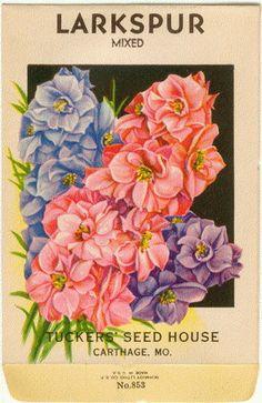 LARKSPUR DELPHINIUM Vintage Tucker's Flower Seed by dvioletlady