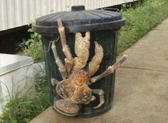 First giant coconut crab, largest land crab, captured in Hawaii since 1989 where it is an invasive species. They can weigh 9 pounds reach 3 feet wide.