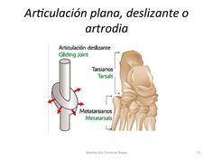 Diartrosis (ARTRODIA - ARTICULACIÓN METATARSIANA)