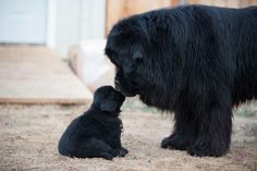 Father and son Newfoundland dad and baby from Notta bear Newfoundlands