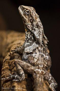 """""""Viserion"""", fotografía de un lagarto de Gorguera en el Zoo de Santo Inácio, Portugal."""