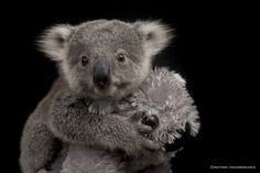 A Baby Koala Did A Photoshoot And The Footage From Behind-The-Scenes Is Too Cute To Handle