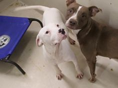 01/20/16-Speaking Up For Those Who Can't Dec 28 · ***FULLY VETTED*** Sugar (white) is a female Staffordshire Terrier mix less than a year old Gorgeous!!! Kennel A13 $19 to Adopt ADOPT/RESCUE/FOSTER Located at Odessa, Texas Animal Control. Must have a valid Drivers License and utility bill with matching address to adopt. They accept Credit Cards, cash or checks. We ARE NOT the pound. We are volunteers who network these animals to try and find them homes. Please send us a PM if