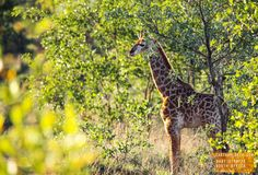 Cute Baby Giraffe - South Africa