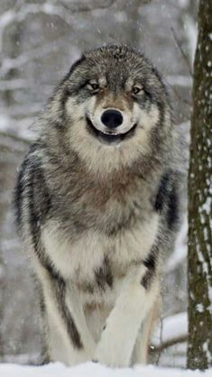 ❤So, so sweet! A smiling wolf. Wolf Photos, Wolf Pictures, Nature Photos, View Photos, Wolf Love, Cute Wild Animals, Animals And Pets, Beautiful Wolves, Animals Beautiful