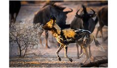 A pack of painted wild dogs' success rate at hunting is 80%.