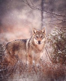 Grey wolf (canis lupus) in winter, Finland | Niko Pekonen