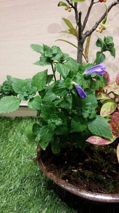 9/13◯スズムシバナ(鈴虫花)キツネノマゴ科 イセハナビ属 多年草 本州の近畿地方から九州にかけて分布、山地の木陰などに生育。 花は朝開き午後に散る。 名前の由来は鈴虫の鳴く季節に咲く花ということから。