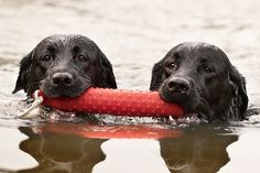 © Fido Photography | Daily Dog Tag | Labs-fetching