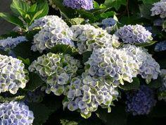 Hydrangea macrophylla 'Magical Revolution' blau Hydrangea Macrophylla, Macrophylla, Flowers, Plants