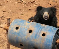 Bear diaries: Enriching the lives of our rescued bears