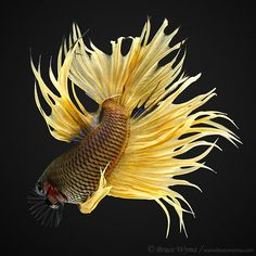 Yellow colored crowntail betta