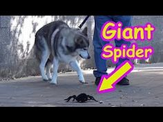 nice Top 5 Best Toy Pranks of 2017 Compilation! Spider Prank, Giant Spider, Scary Movies, Pranks, Viral Videos, Cool Toys, Nice Tops, Funny, Youtube