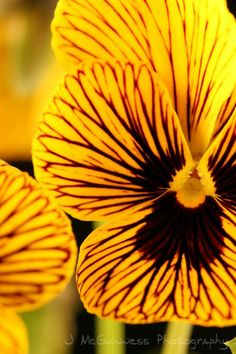 Tiger Eyes Pansies