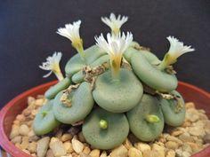 conophytum globosum