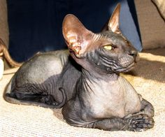 Russian Peterbald Cat. Looks just like my Bobo. Been gone 3 years. Still miss him so much.