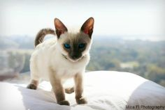 Siamese with a 'blue rinse', blue point Siamese cats are distinctive, gentle and beautiful! Learn more about their special nature and temperament.