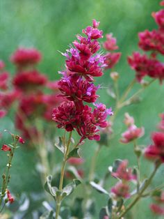 Drought-tolerant perennials: Mojave Sage-Among the most beautiful of the sages, Mojave sage offers beautiful pink blooms that look good well into fall. Even when not in bloom, its gray-green foliage is lovely. Like other salvias, it's great for hummingbirds and butterflies. And it's a great cut flower.