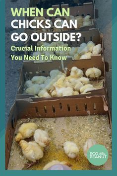When can baby chicks go outside? It's important to know if you're raising baby chicks when they can transition to outside full time. There's a lot to consider such as the weather and predators. Here is an in depth guide you can use to determine when your chicks can live outside full time. #babychicks #chickens #raisingchickens #homesteading