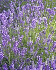 Lavender - GoodHousekeeping.com