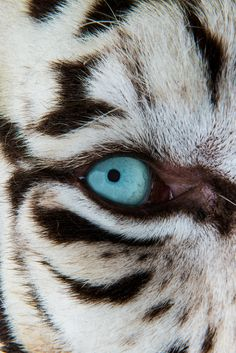WHITE TIGER BEAUTY Art Print by Catspaws #animal #artwork