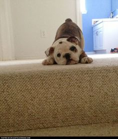 Adorable Bulldog Puppy On The Stairs ::: Visit our poster store Rover99.com