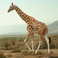 Volunteer in Namibia African Giraffe, African Safari, Most Beautiful Horses, Animals Beautiful, Safari Animals, Cute Animals, Giraffe Tattoos, Giraffe Pictures, Water Drawing