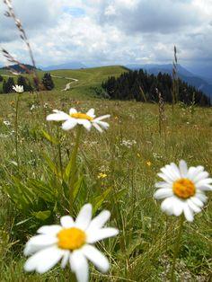 crocus à fleurs blanches | le cormet de roselend | pinterest