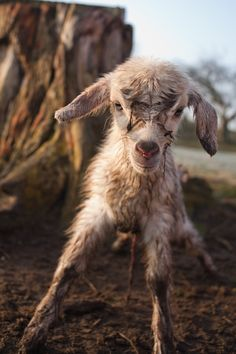 newborn little goat - welcome to the world, little one!