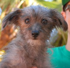 Sherri is a tiny, 5-pound youngster who needs an exceptionally gentle home where she can build confidence and self-esteem. She is a Toy & Terrier mix, 1 year of age and spayed, debuting for adoption today at Nevada SPCA (www.nevadaspca.org). We rescued Sherri from another shelter that asked for our help due to her timidity. She is in a kennel with another dog, which is helping her feel secure, and we strongly prefer adopting her to a home where she will have a big sister or brother dog.