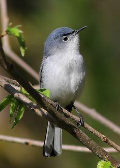 Blue-gray Gnatcatcher came back to my backyard this morning! World Birds, All Birds, Little Birds, Love Birds, Beautiful Birds, Blue Gray Gnatcatcher, Backyard Birds, Bird Pictures, Colorful Birds