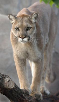 Puma, mountain lion, cougar