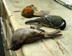 Dead birds - Polly Morgan