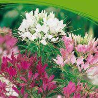 Kattesnor spinosa mixed Cottage Garden, Garden Inspiration, Garden, Plants