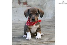 Mini Chiweenie Puppies for Sale | ... cute Dachshund, Mini puppy for sale for $400. Jackson the ChiWeenie