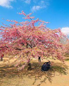 Tokyo Day Two - Harajuku, Meiji Shrine And Yoyogi Park's Cherry Blossoms (2)