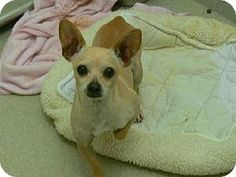 Breed:    Chihuahua    Color:    Tan/Yellow/Fawn    Age:    Adult        Size:    Small 25 lbs (11 kg) or less    Sex:    Male     ID#:    4832711-A139954      I am purebred.    *PACINO's Story...       Act quickly to adopt *PACINO. Pets at this shelter may be held for only a short time.