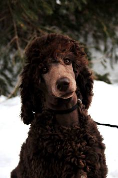 Beautiful Standard Poodle Puppy with a mournful expression