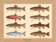free trout illustrations | Rare Trout Poster | Fish Identification Charts