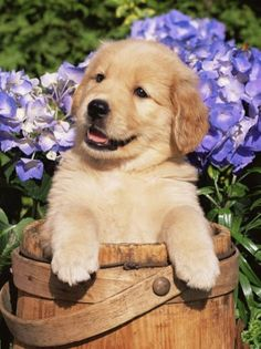 Golden Retriever Puppies AND hydrangeas