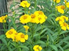 "MEXICAN MINT MARIGOLD - ""Yerba anise"" (Tagetes lucida): yellow flowers; fragrant ""licorice"" scented foliage; blooms in fall; shear occasionally; drought tolerant; hardy; sun; 2 feet."