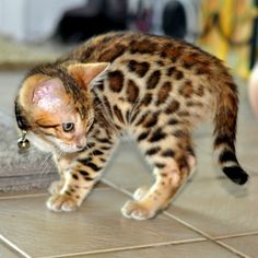 Adonis Bengals | Bengal Cats Bengals Illustrated Directory