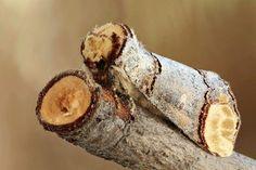 La falena Buff-tip (Phalera bucephala) si mimetizza come un bastone rotto.
