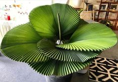 house flowers indoor 747175394413240732 - ZZ Botanical and Home % Simply perfect Parasol Palm 👌😍 Photo: Mindy Fisk ___ Source by melissavaan Unusual Plants, Exotic Plants, Cool Plants, Cool Indoor Plants, Indoor Tropical Plants, Indoor Garden, Garden Plants, Tropical House Plants, Tropical Garden Design
