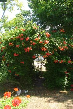 Trumpet Vine-For the north property fence...very hardy.