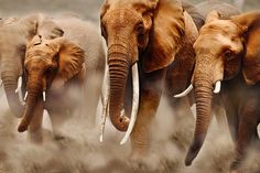 African elephant (Loxodonta africana), herd on the move. In the middle cow elephant with exceptionally long tusks. Distribution Sub-Saharan Africa World Elephant Day, Elephant Love, Elephant Print, Elephant Stuff, Elephant Images, Elephant Pictures, Elephant Walk, Elephant Parade, Elephant Family