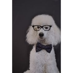 I had a miniature poodle for one week when first a widow...named Miss Vivian and called her Vivy...(from Pretty Woman)!