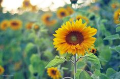 sunflower - -